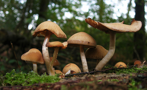photo credits : creative commons Picture of psychedelic mushrooms growing